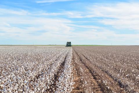 Stripping Cotton