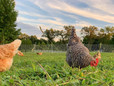 Chicken Molting FAQ