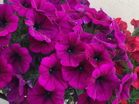 Λουλούδια και Αγγελική Θεραπεία | Πετούνια