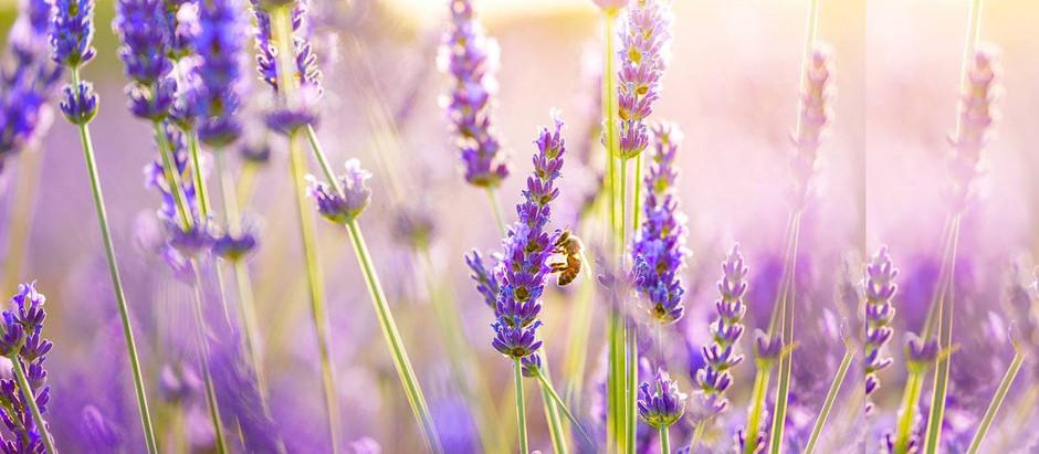 Λουλούδια και Αγγελική Θεραπεία | Λεβάντα
