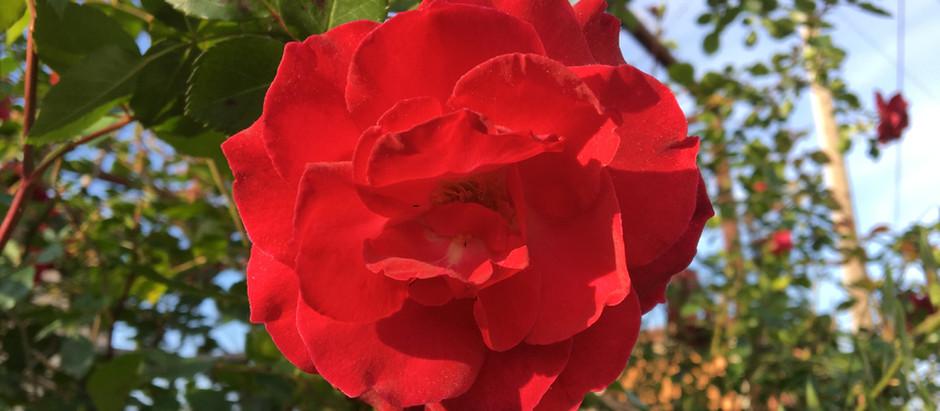 Λουλούδια και Αγγελική Θεραπεία | Κόκκινο Τριαντάφυλλο