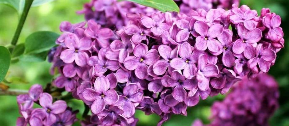 Λουλούδια και Αγγελική Θεραπεία | Πασχαλιά