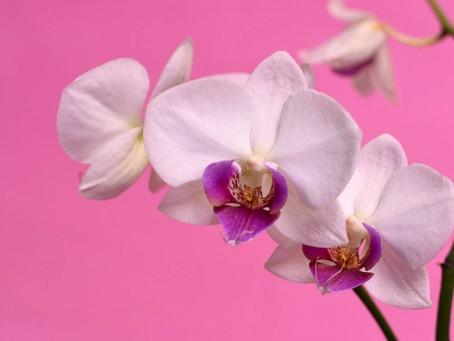 Λουλούδια και Αγγελική Θεραπεία | Ορχιδέα