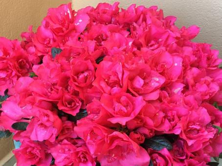 Λουλούδια και Αγγελική Θεραπεία | Αζαλέα