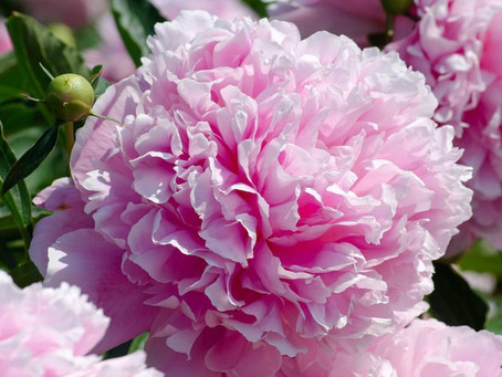Λουλούδια και Αγγελική Θεραπεία | Παιώνια
