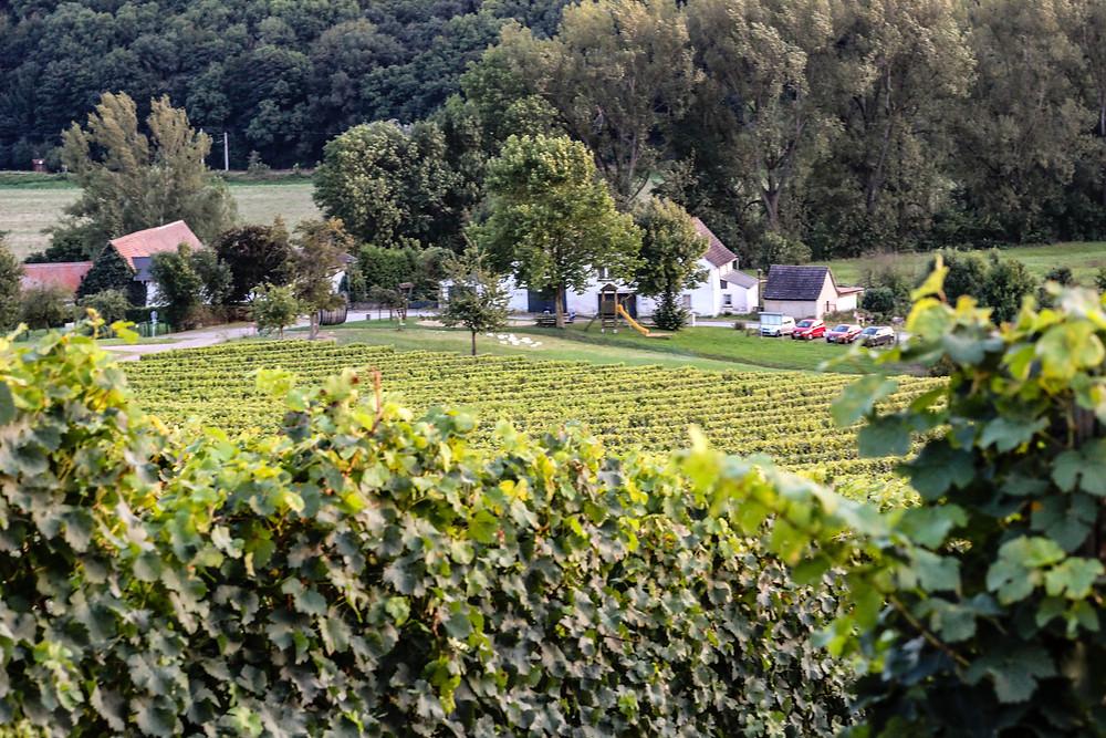 Weinberg Thüringer Weingut Zahn (Saale-Unstrut)