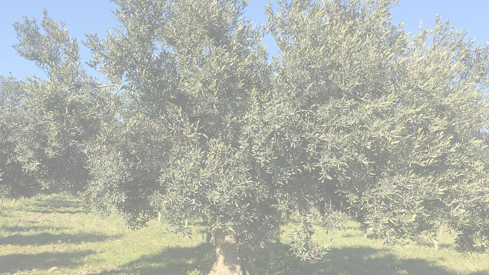 Albice Olive Tree.jpg