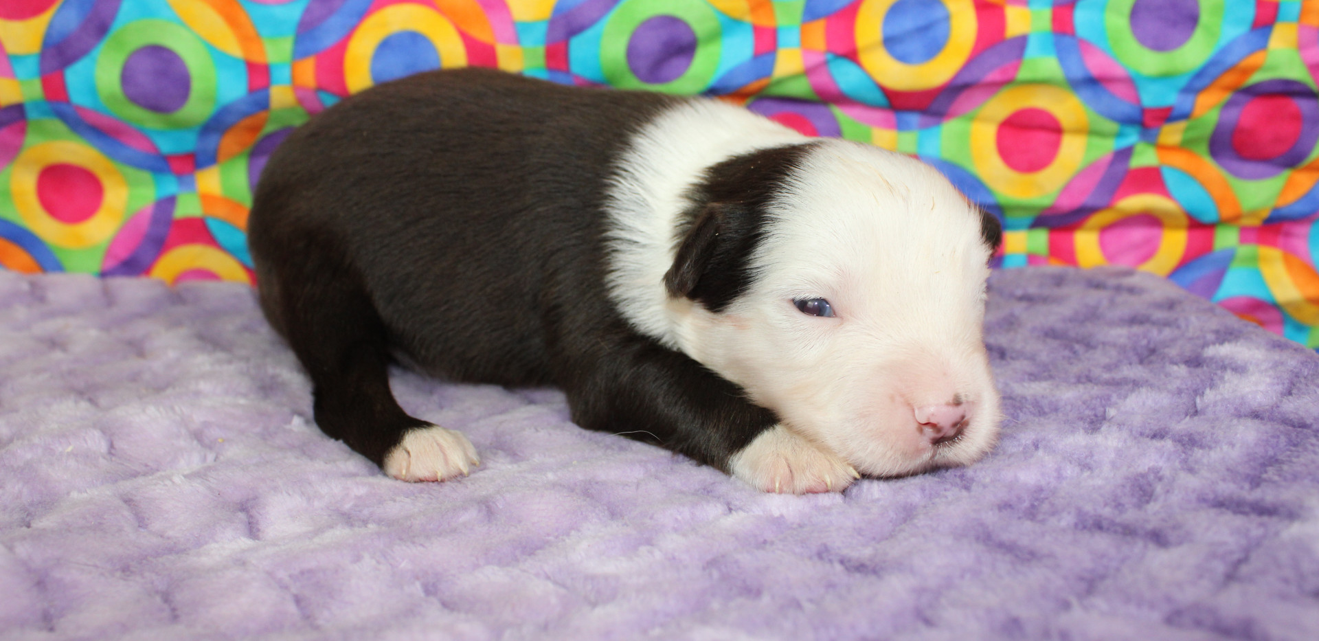 ASCOT Mini Red Tri Male