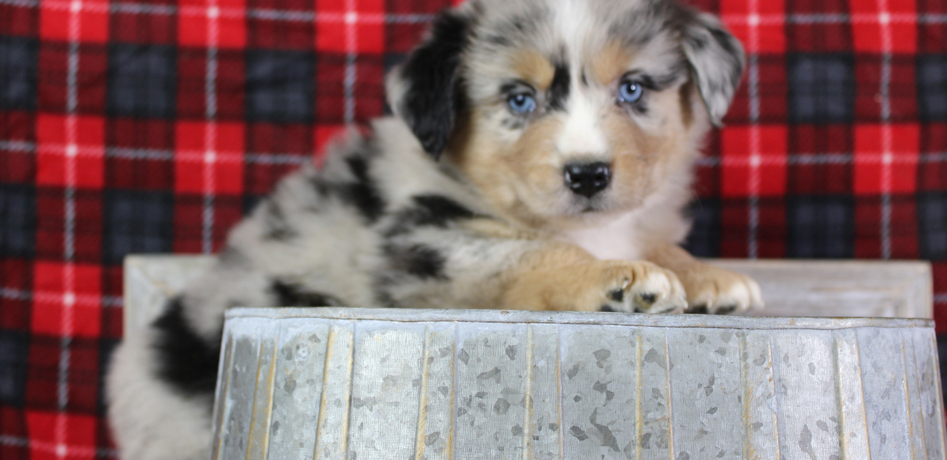 WINCHESTER Blue Merle Male1