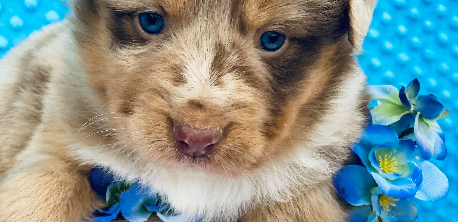 GOLDEN NUGGET Red Merle Female2