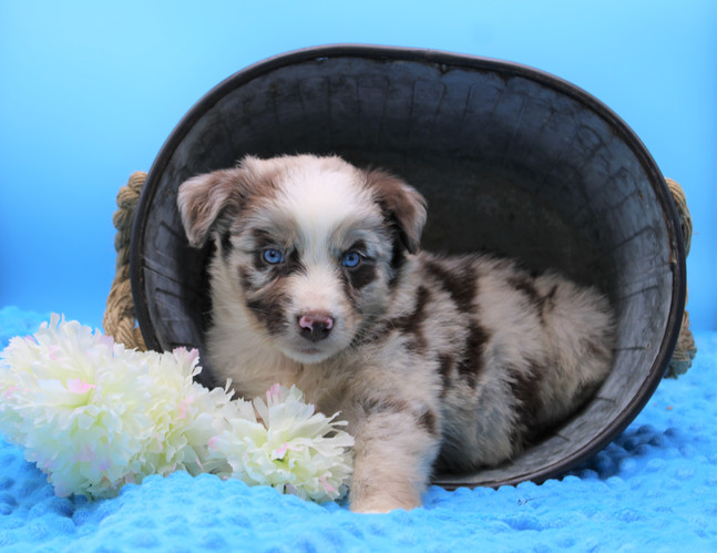 """""""TOBY"""" Red Merle Male"""