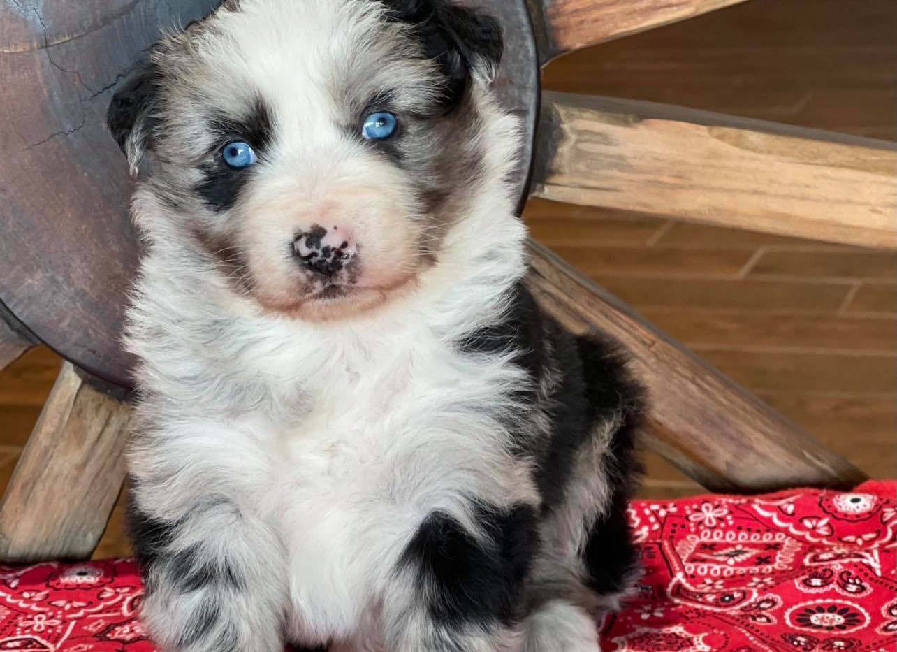 RODEO Blue Merle Male