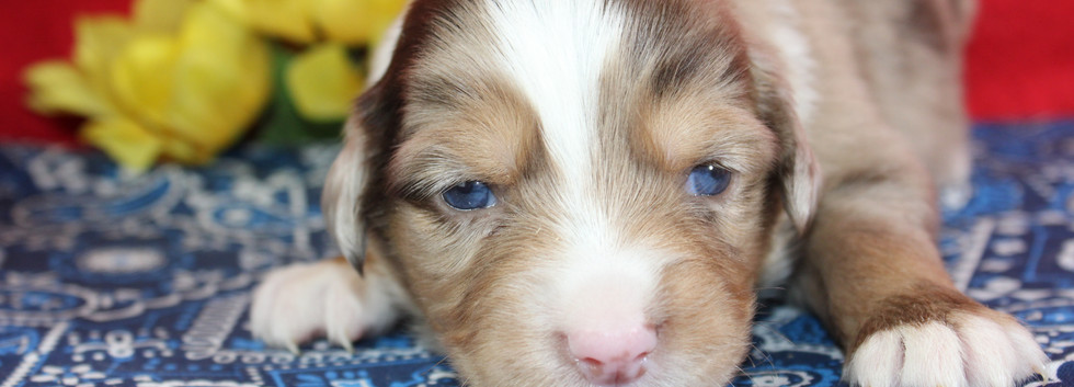 DORY Mini Red Merle Female
