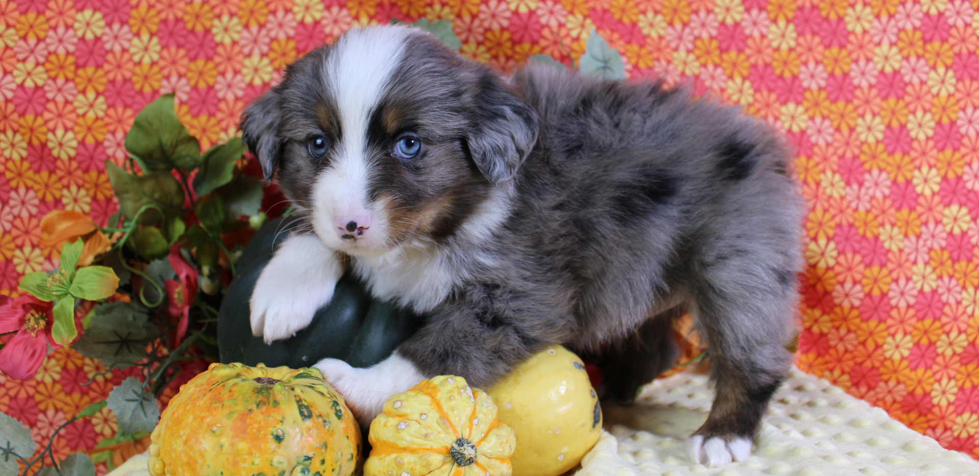 TROUT Blue Merle Male RESERVEDfor Allen Family!!