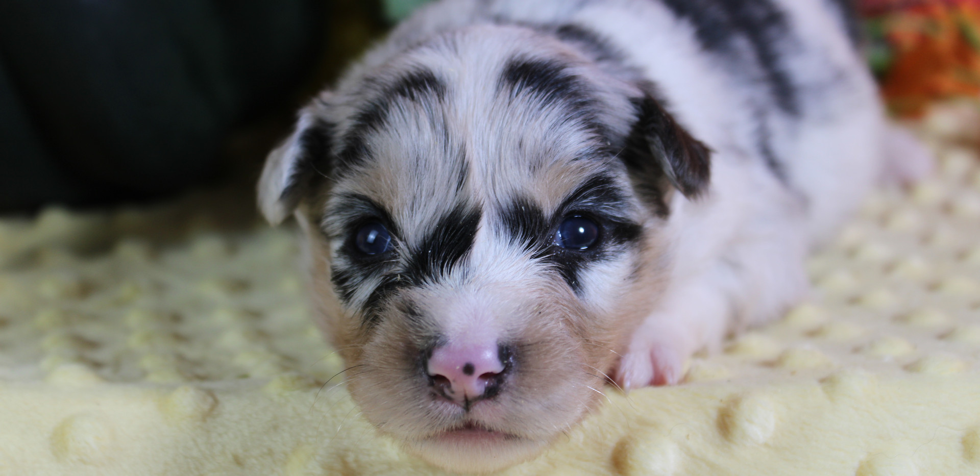 GRACE Blue Merle Female 1