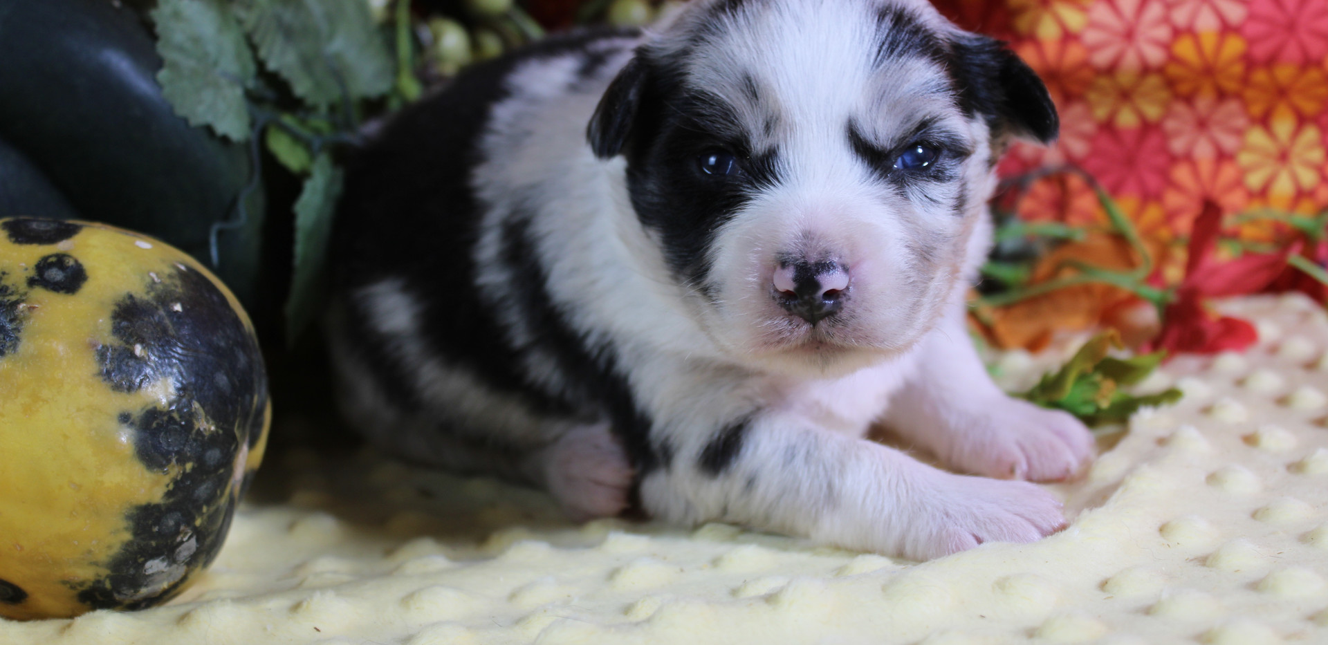 ASPEM Mini Blue Merle Female RESERVED