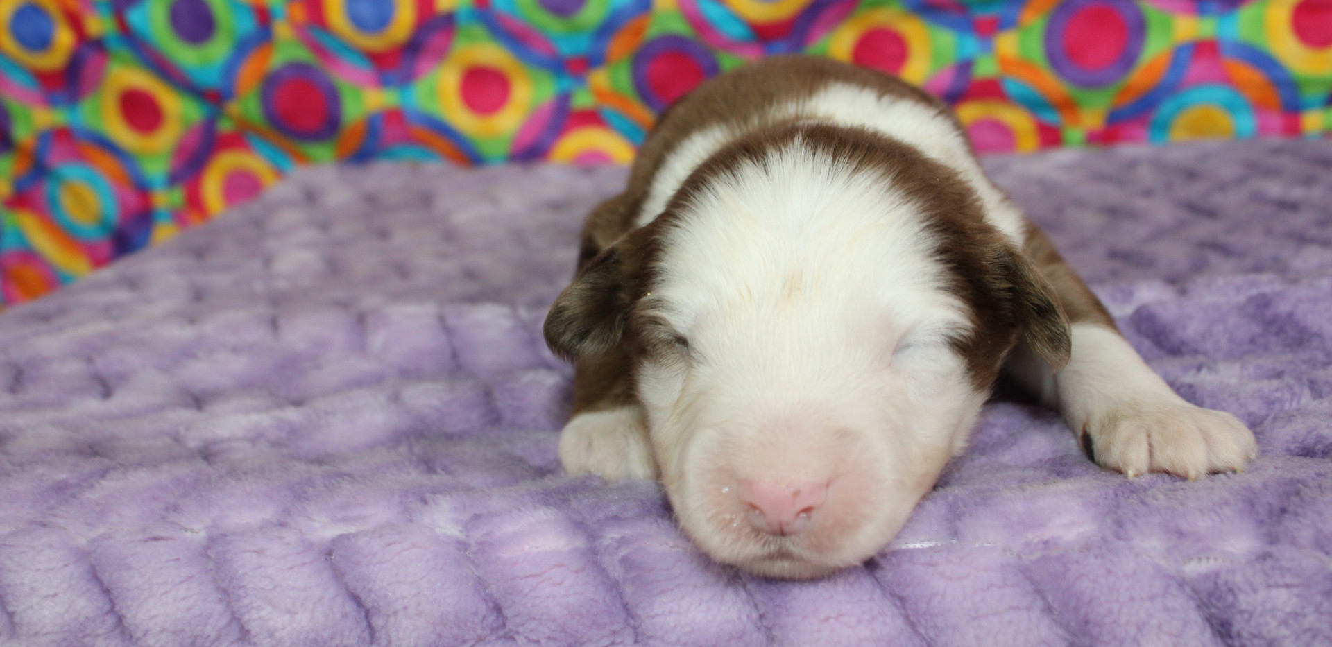 CAPPY Red Merle Male RESERVED