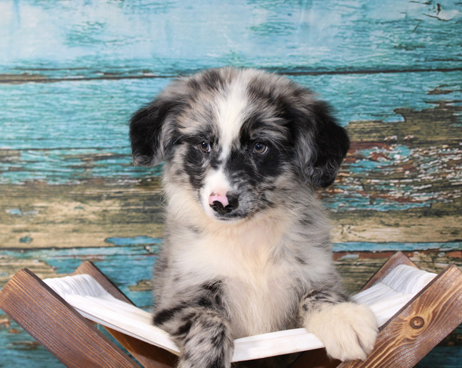 ROGERS Mini Male AVAILABLE