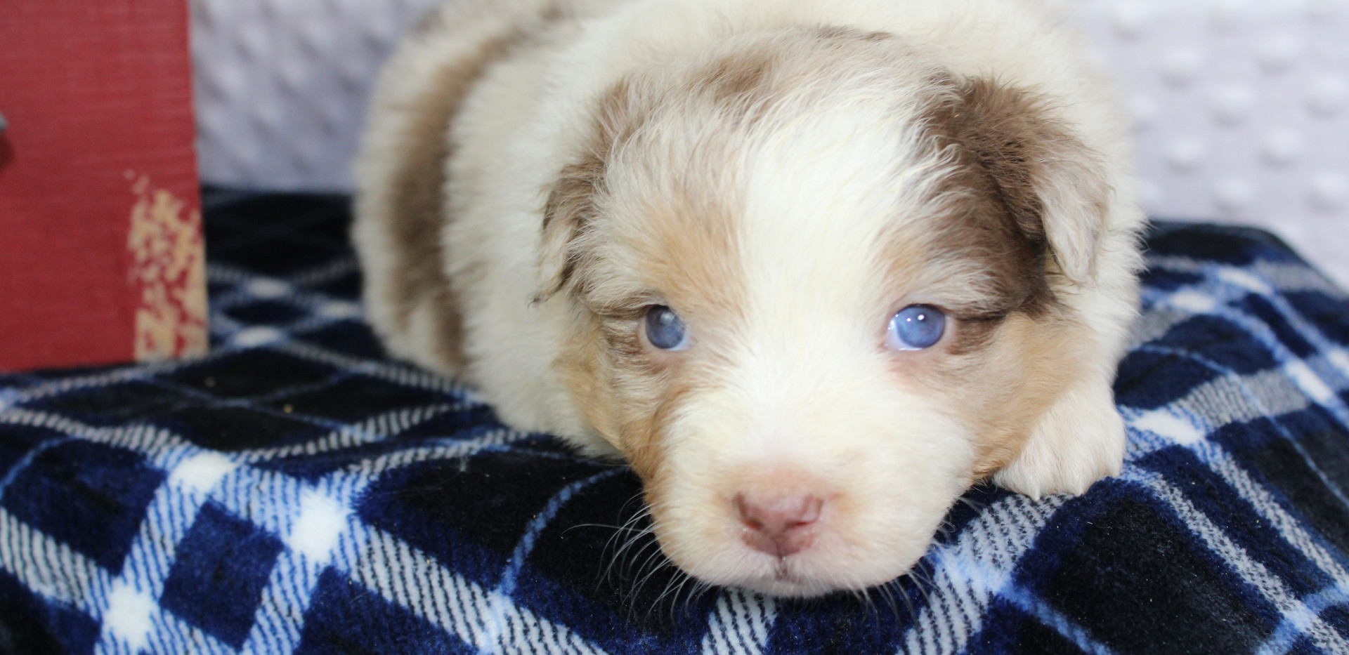 ROULETTE Red Merle F 2