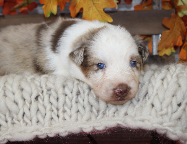 WILLIAM Stnd Male AVAILABLE