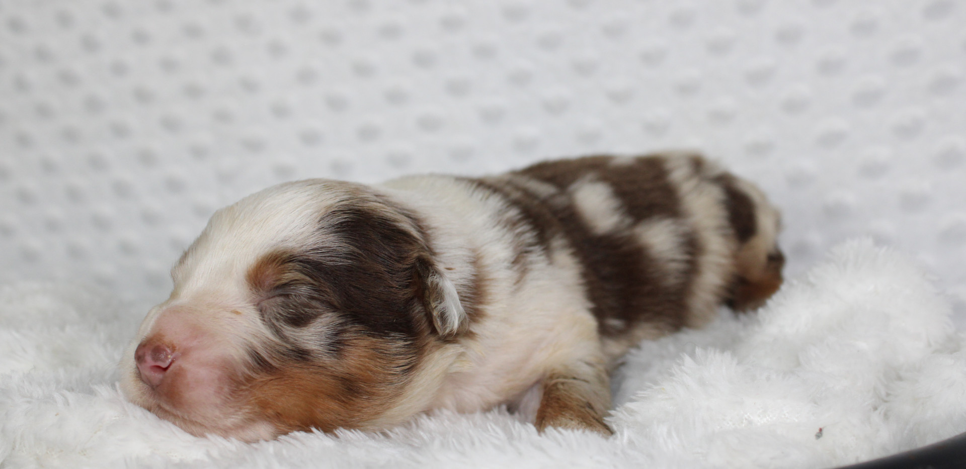 RUMBLE Red merle Male
