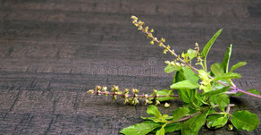 "Holy Basil - Tulsi  aka ""The incomparable one"""