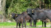 Wasserbüffel Familie