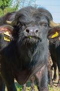 Wasserbüffel Stier