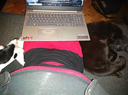 pets helping with the laptop
