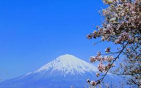 日本 富士山 桜.jpg