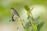 柑橘鳳蝶 Papilio xuthus xuthus.jpg