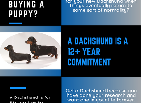 A Dachshund is for life, not just for lockdown!