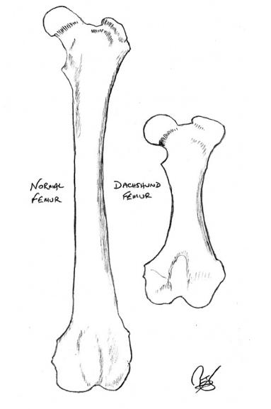 Dachshund bones - femur