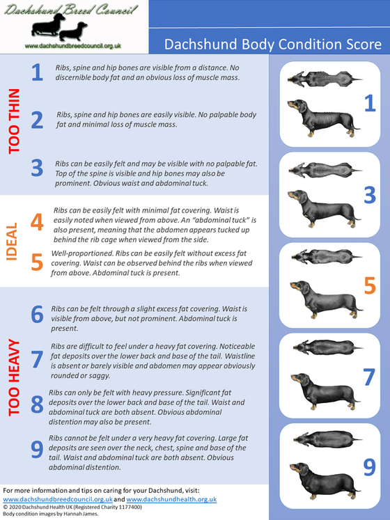 Is your Dachshund too heavy, too thin, or just right? Check out our new Body Condition Score chart