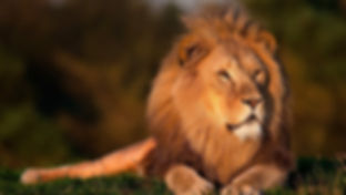 leeuw 2.jpg