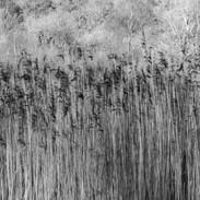 Elterwater Reeds