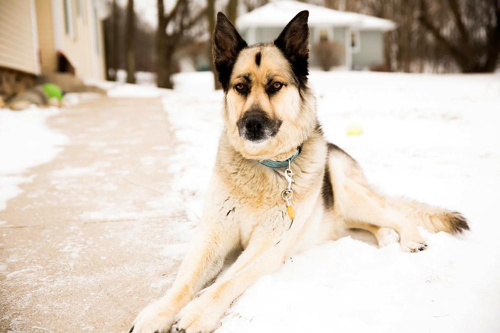 winter, snow, dog, german shepherd, wolf, husky