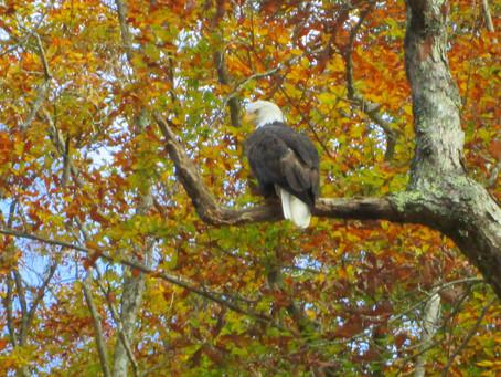 10/24/2020 Bald Eagle!