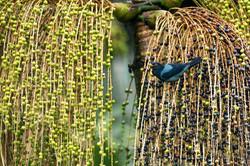 Yellow billed thrush