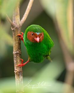 Grass green tanager