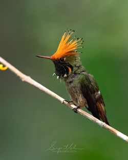 Rufus crested coquette