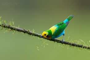 Multi colored tanager