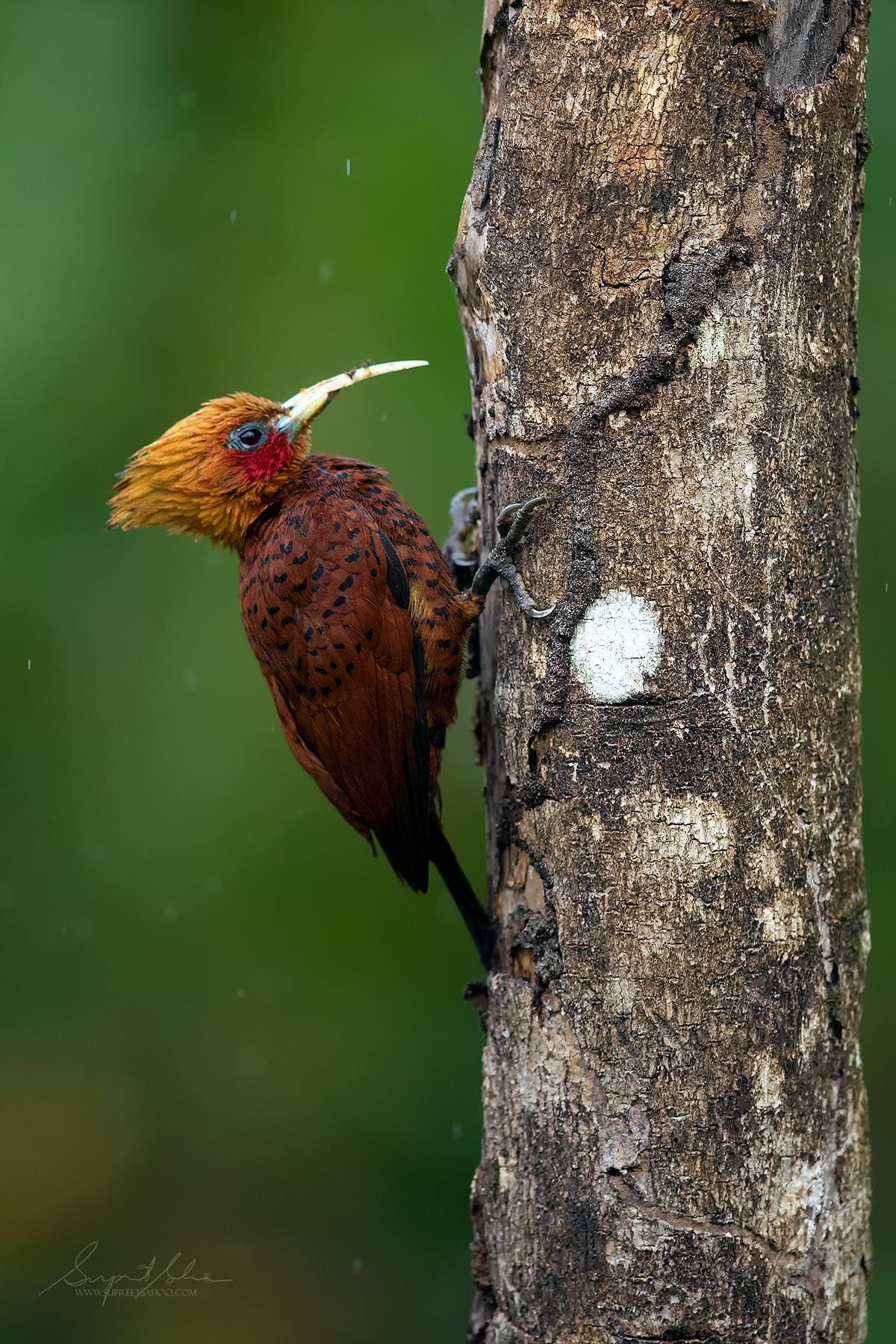 Chestnut colored woodpecker