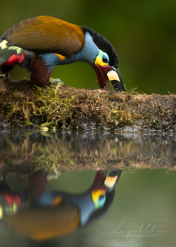 Plate billed mountain toucan