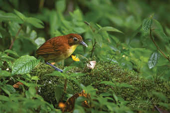 Yellow fronted antpitta