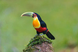 Red breasted toucan