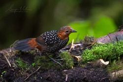 Occelated Tapaculo