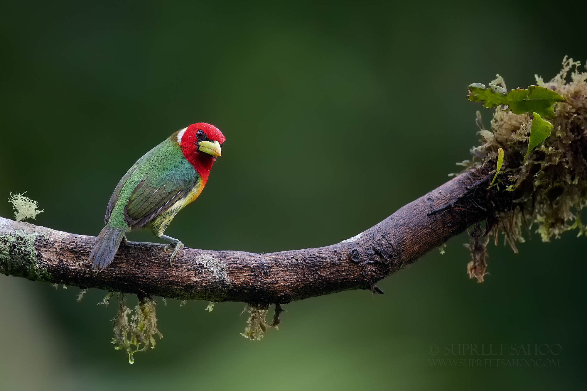 Red headed barbet