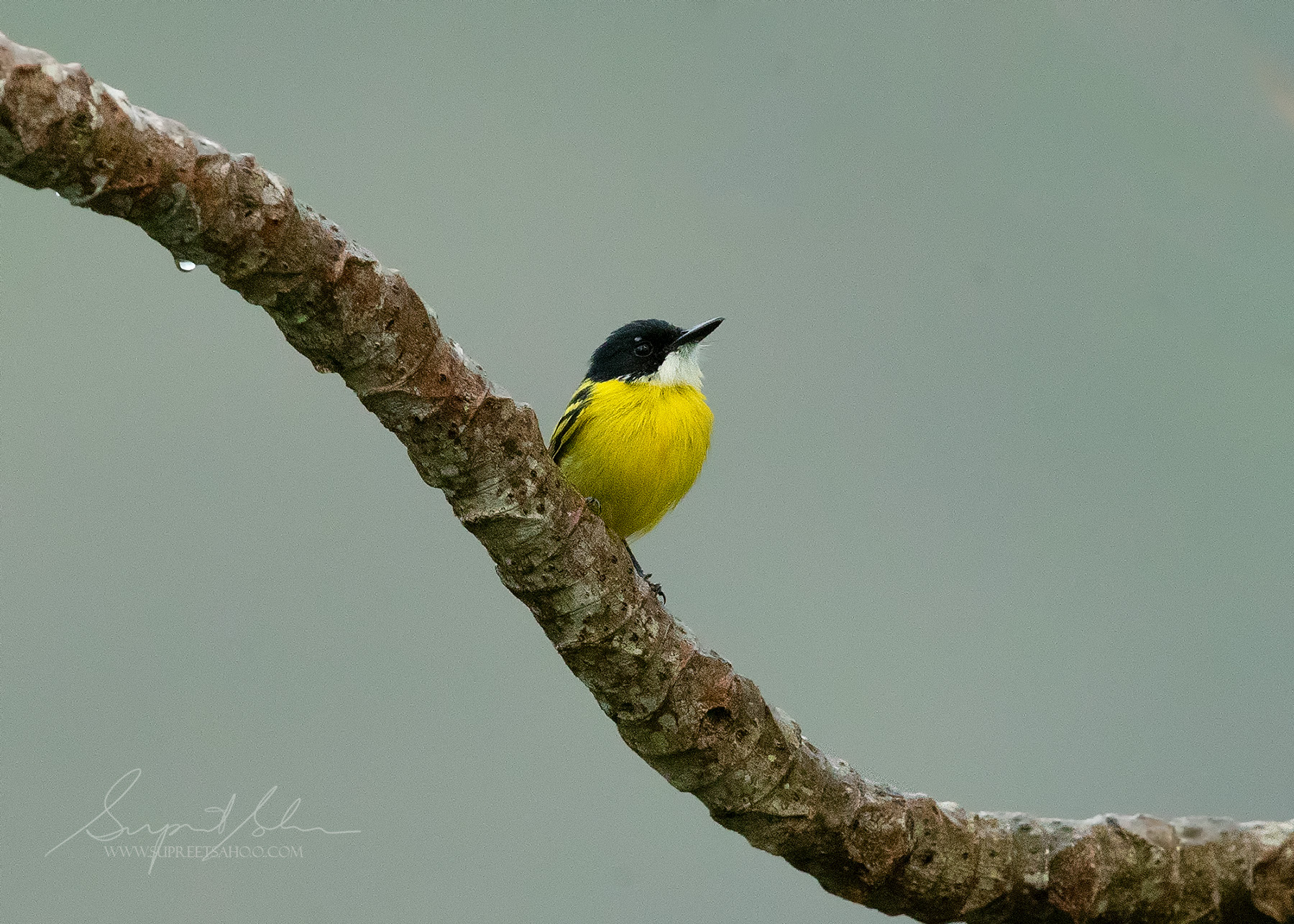 Black headed tody-flycatcher