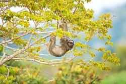 3 toed sloth